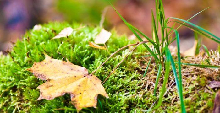 Höstlöv som ligger på grön mossa.